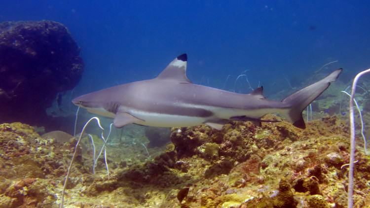Black Tip Reef Shark at Palong Wall Phi Phi Islands dive tour