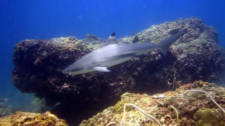 Black Tip Reef Shark at Palong Wall Phi Phi Islands dive tour