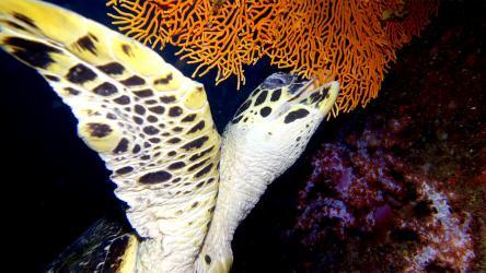 Hawksbill Sea Turtle munching on fan coral