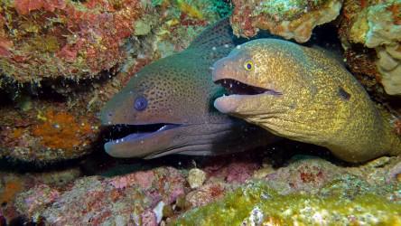 Moray eels sharing space on Shark Point, Phuket Thailand