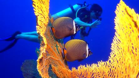 Two Red Tail Butterfly fish swimming between fan corals in the Similan Islands
