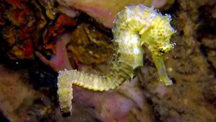 Swimming Tiger Tail Sea Horse on Koh Doc Mai - Local Dive Thailand