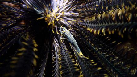 Crinoid Shrimp inside of a Feather Star