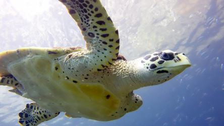 Hawksbill Sea Turtle Descending from the surface