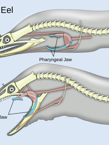 Two Sets Of Jaws On Moray Eels