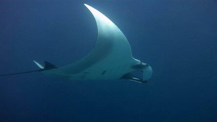 Giant Manta at Black Rock Myanmar