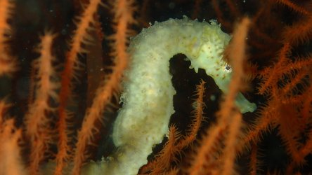 Seahorse-On-A-Phuket-Diving-Site