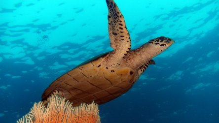 Diving Phuket With Hawksbill Turtles