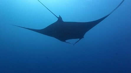 giant-manta-at-phukets-south-tip