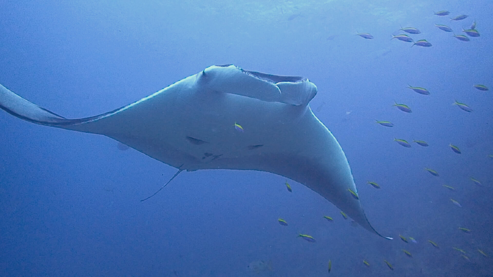What Are My Chances of Diving With A Manta Ray In Phuket?
