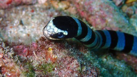 Banded Sea Krait At Koh Bida Nok - Phuket