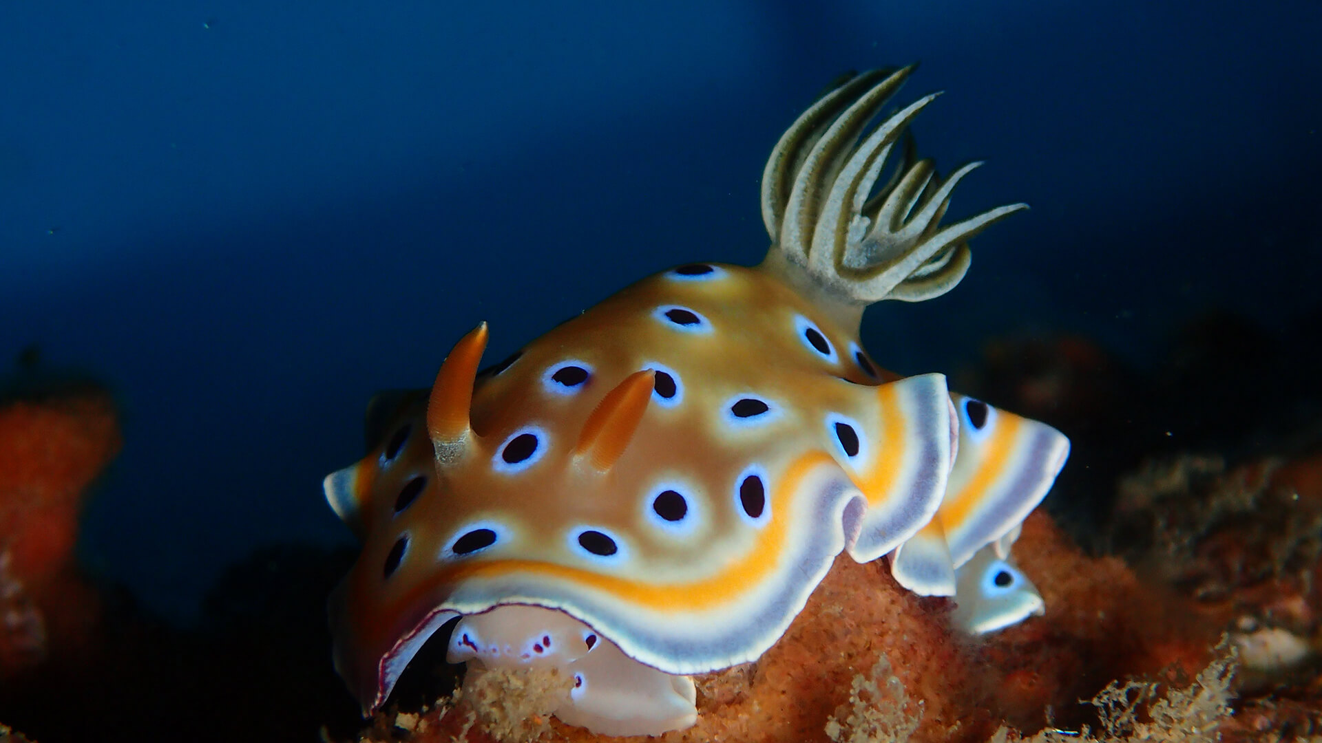 A Little Help With Phuket Nudibranchs