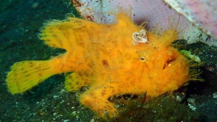 Striated Or Hairy Frogfish
