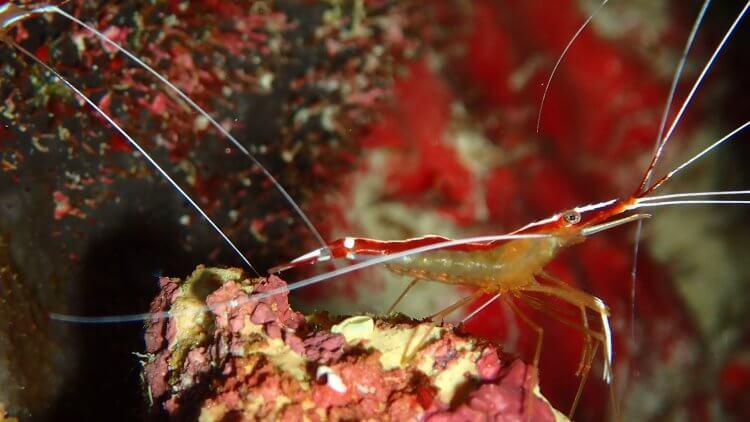pacific cleaner shrimp phuket