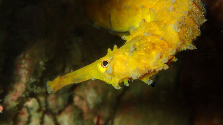 Tigertail Seahorse At Phuket Diving Site Koh Doc Mai
