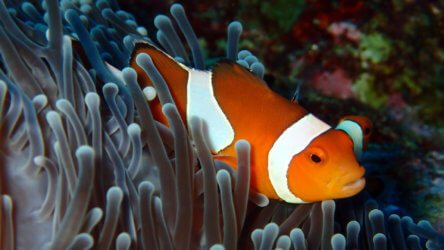 False Clown Anemone Fish (Amphiprion ocellaris) At Anemone Reef