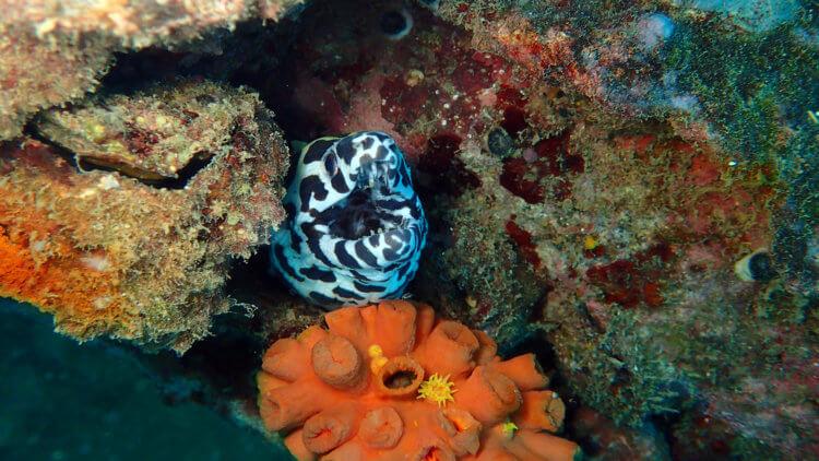 Honeycomb Moray At Boonsung Wreck
