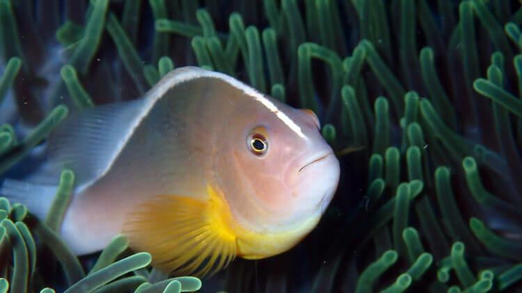 Skunk Anemone Fish (Amphiprion akallopisos) At Anemone Reef