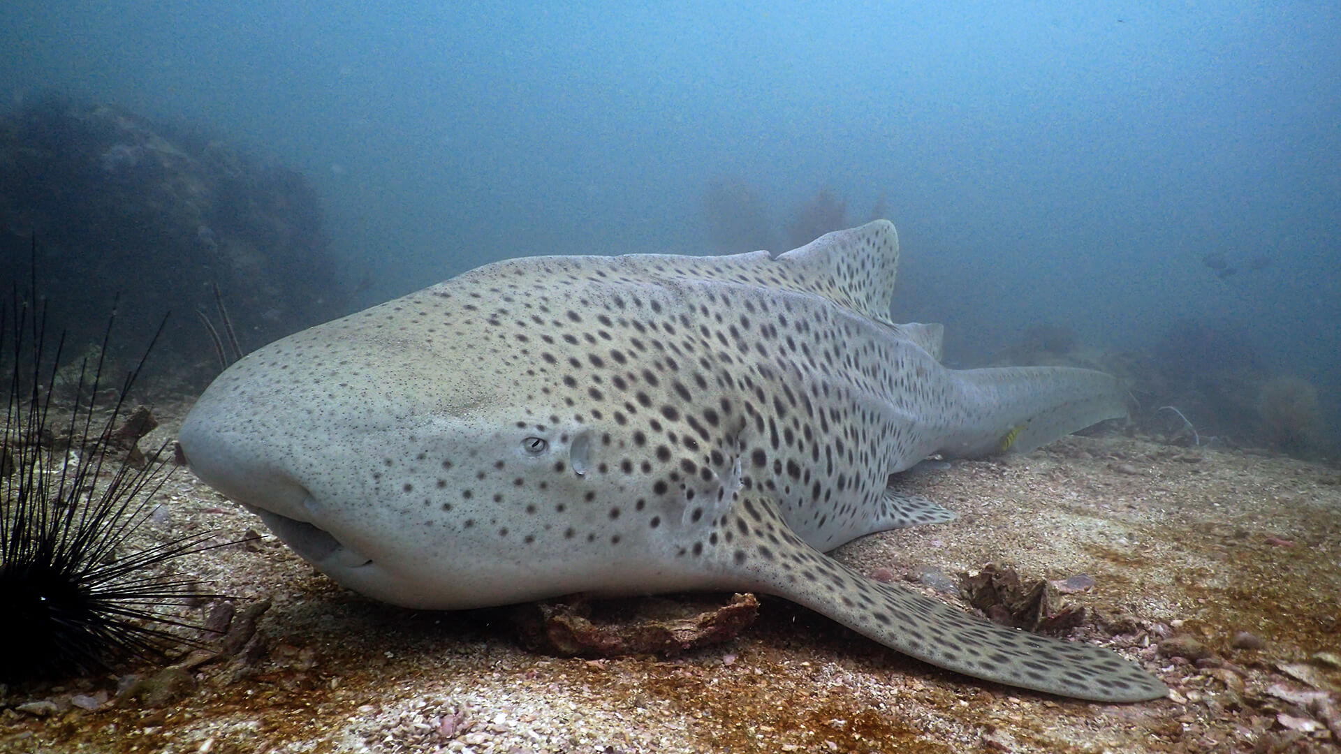 Chilled Out Leopard Shark At Shark Point