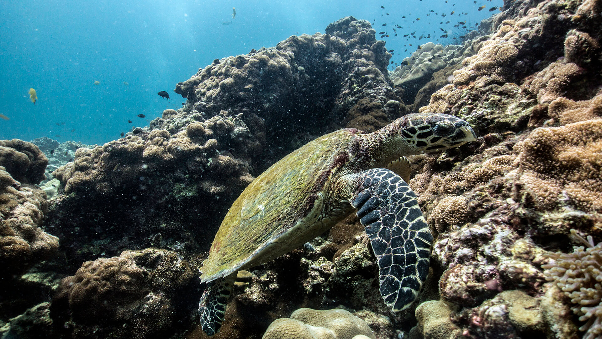 Hawksbill Turtle At Koh Bida Nok