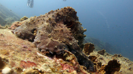 Octopus Are a Common Sighting In Phuket Diving