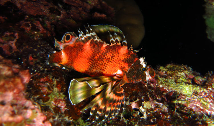 Oscillated Dwarf Lionfish At Turtle Rock