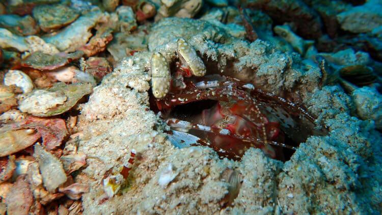 Spearing Mantis Shrimp At Turtle Rock Similan Islands