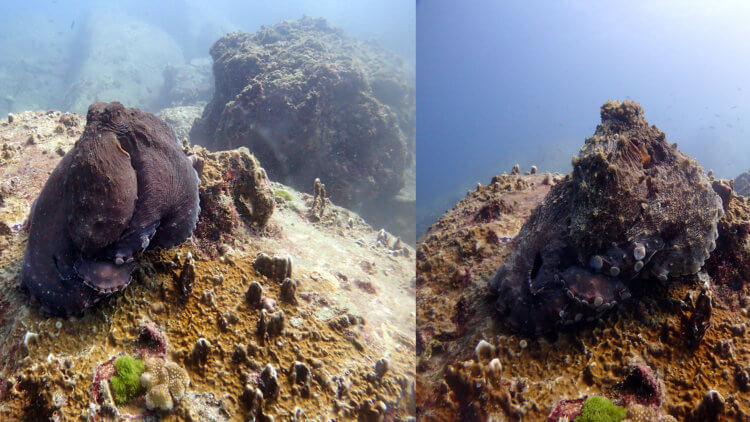 Camouflaged And Not So Camouflaged Octopus