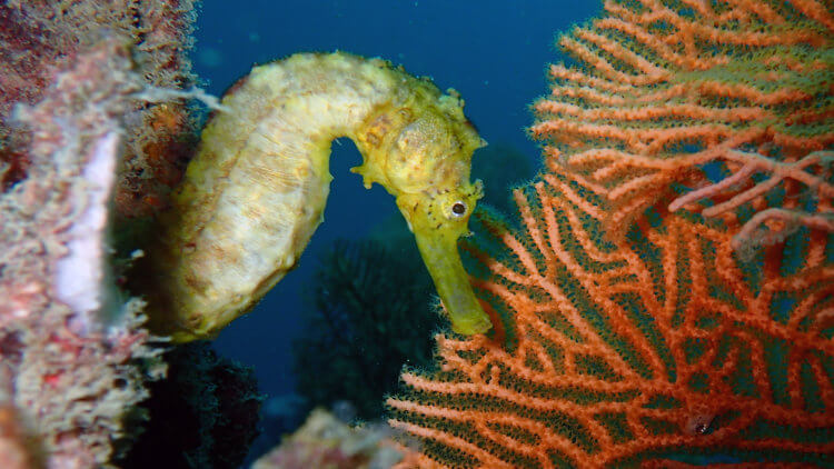 Tigertail Seahorse At Shark Point
