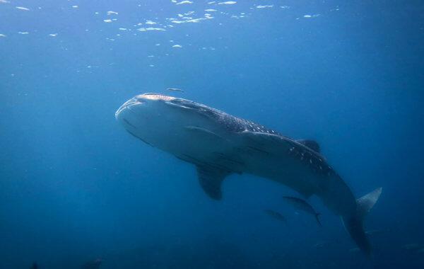 Whale Shark in Phuket