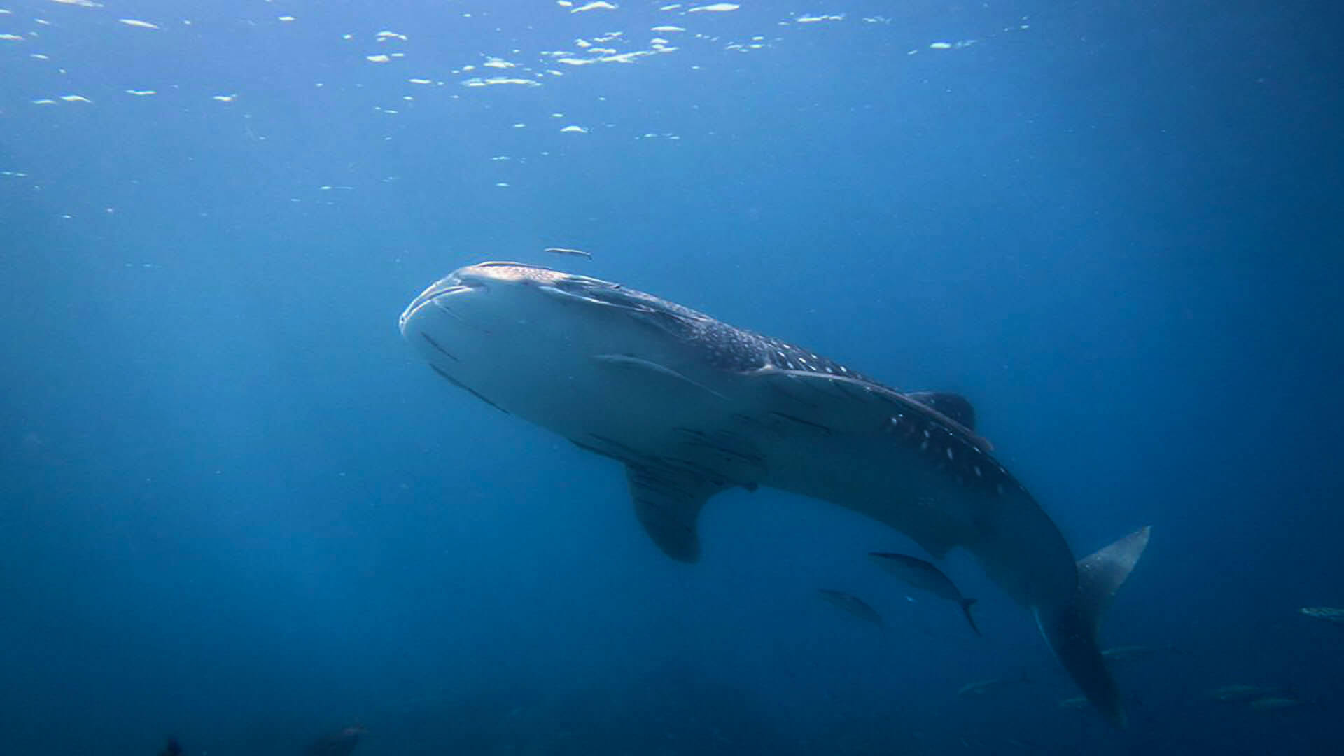 It's International Whale Shark Day But What Do We Know About Them?
