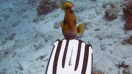 A Titan Triggerfish Chomping On A Phuket Divers Fin