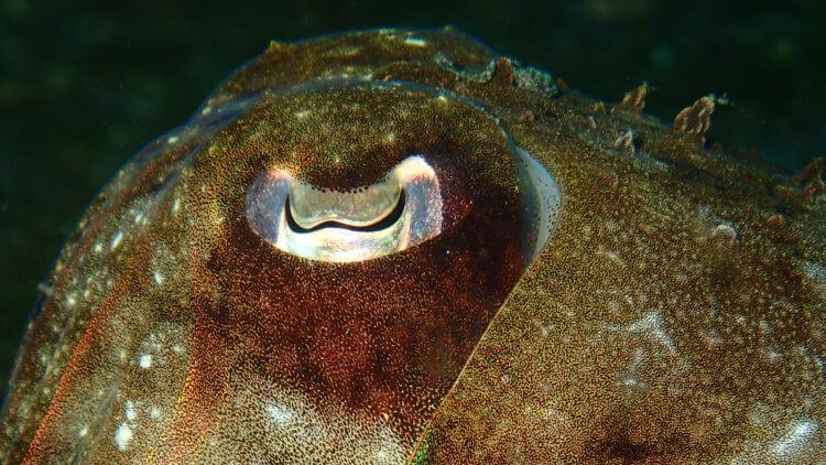 W shaped Eye of A Cuttlefish