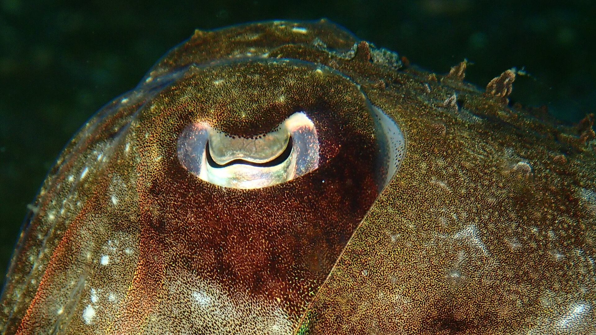 W shaped Eye of A Cuttlefish