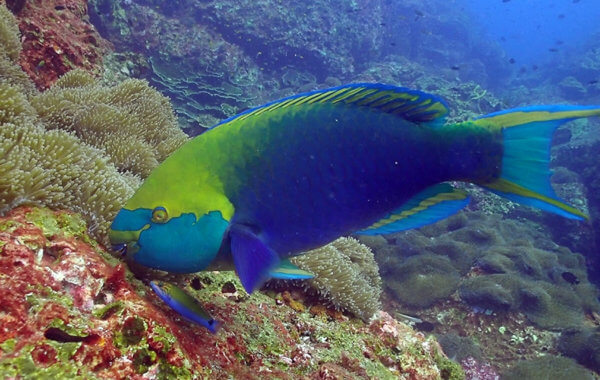 parrotfish feeding on algae