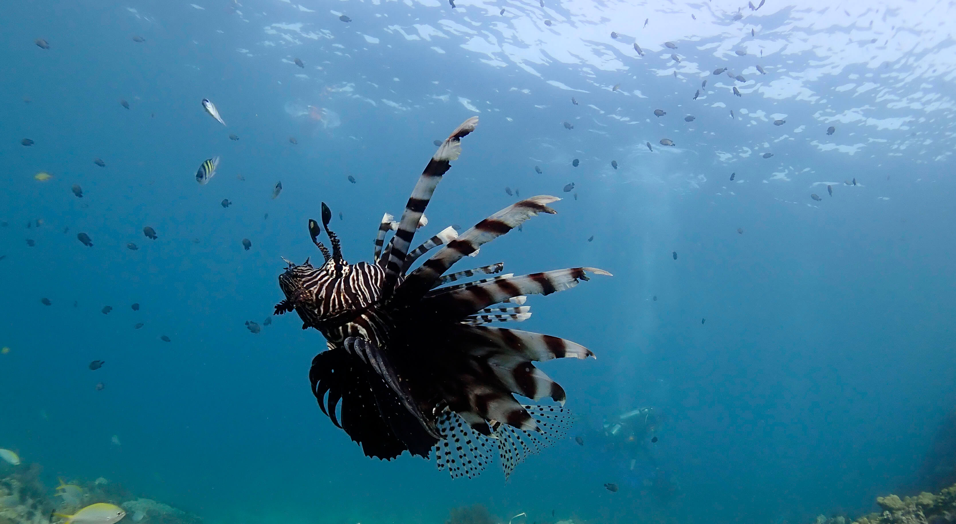 common lionfish at shark point phuket