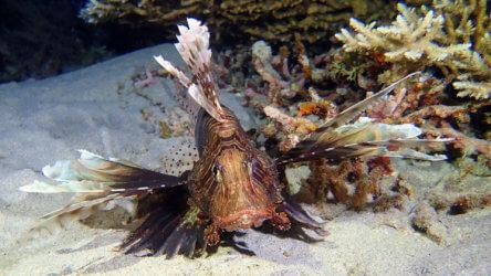 lionfish in phuket