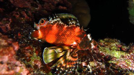 two eyed lionfish (dendrochirus biocellatus)