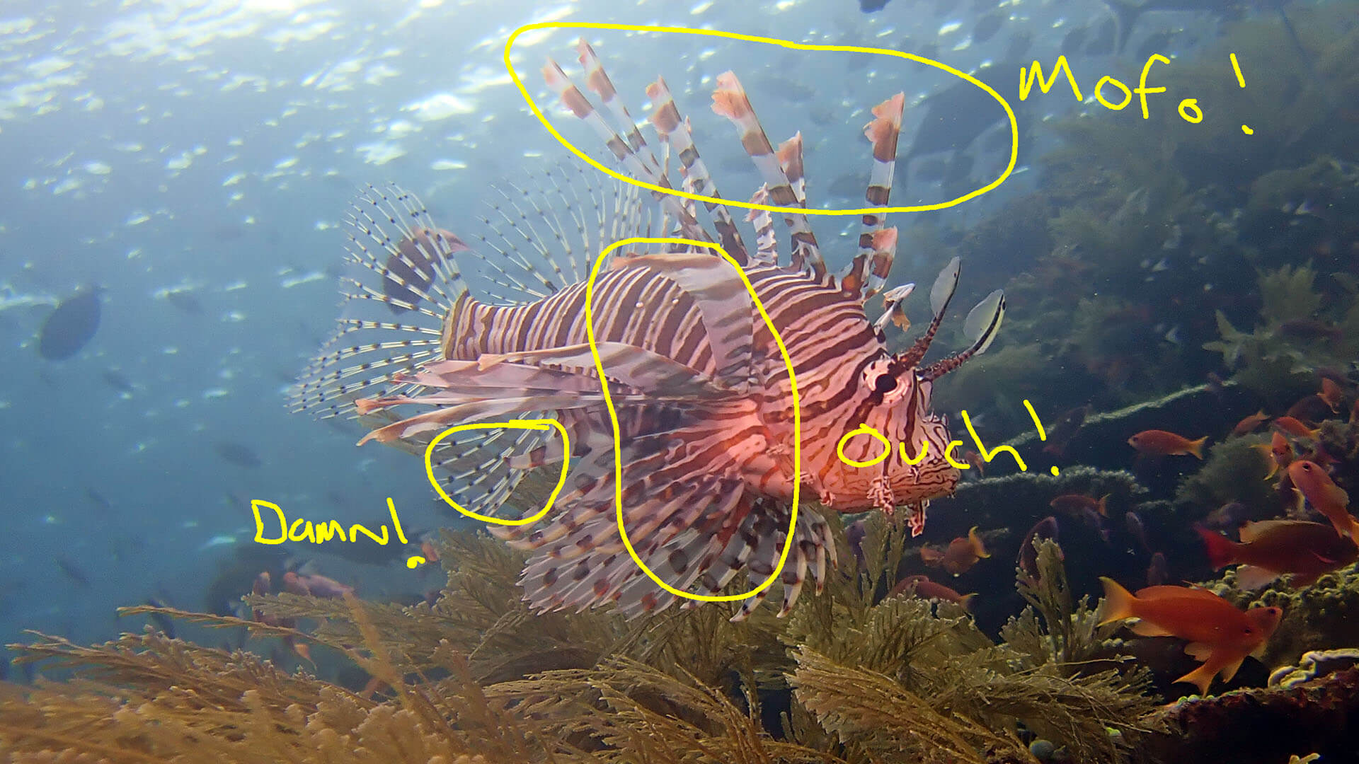 venom location on lionfish