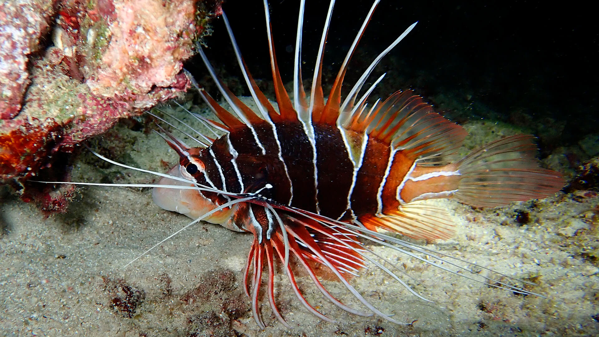 White-lined Lionfish