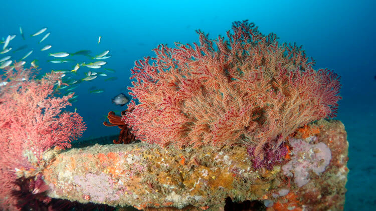 healthy coral at depth on artificial reef