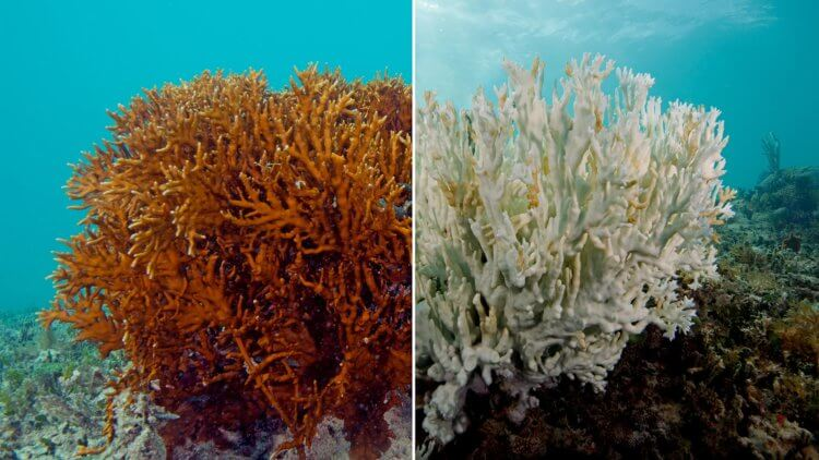 Healthy Coral Vs Bleached Coral Effects Of Sun Cream With Oxybenzone