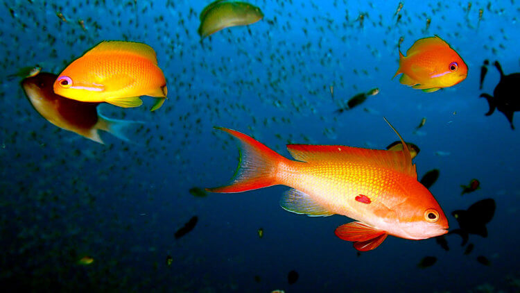 stunning anthias at racha noi phuket