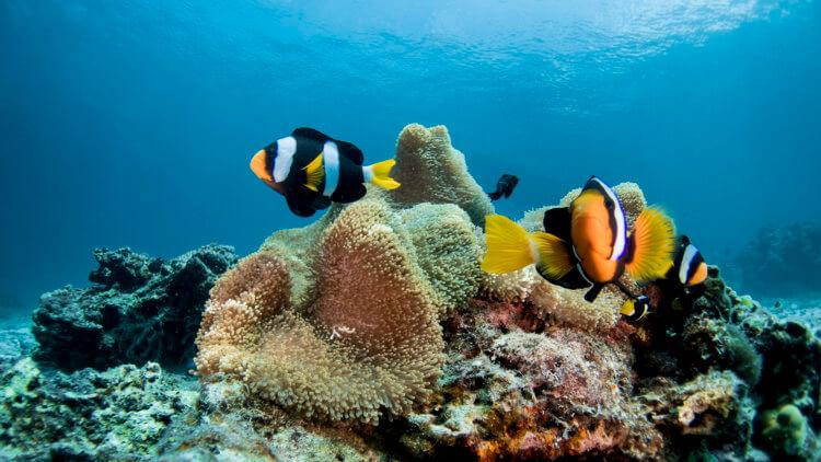 clarkes clownfish at racha noi phuket