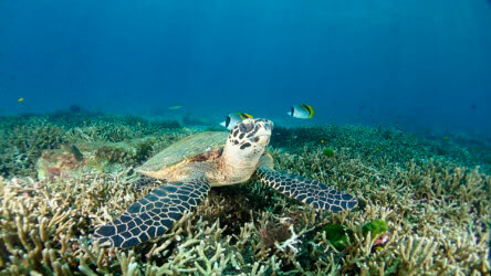hawksbill turtle resting on the reef at racha noi phuket