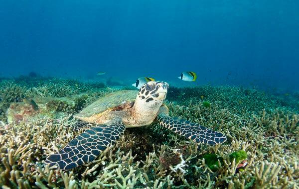 hawksbill turtle resting on the reef at racha noi phuket