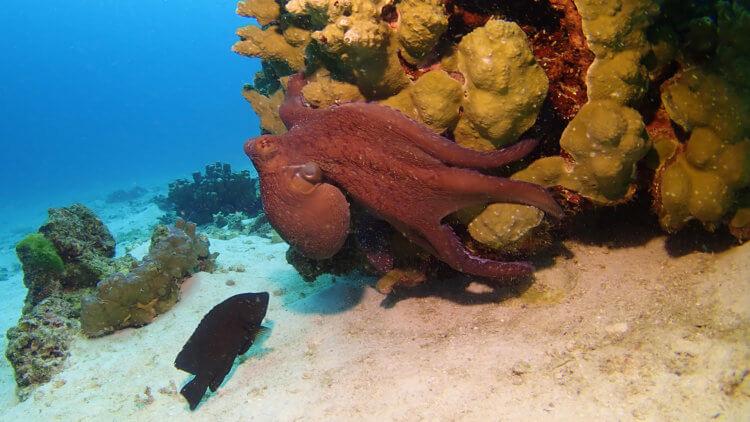 reef octopus at racha yai bay three