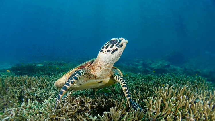 hawksbill turtle in the similan islands national park