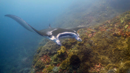 manta ray spotted when diving similan islands