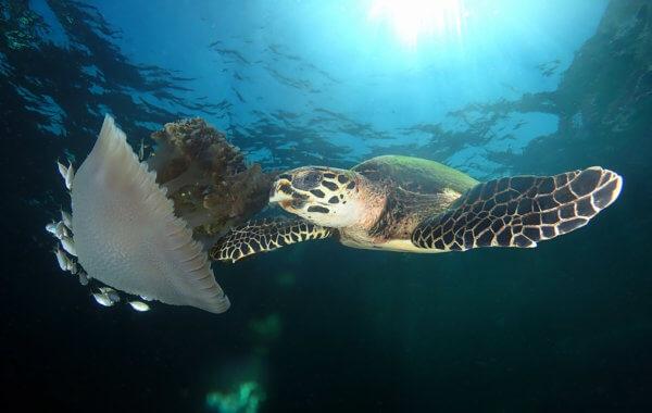 turtle at manta bay phuket